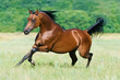 bay arabian horse runs gallop - 27787838