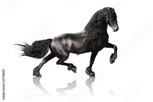 black friesian horse isoalated on white