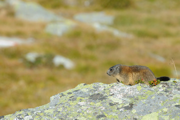 marmot on a boulder