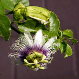 Or Yehuda Passiflora flower November 2010