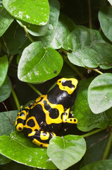 Black and yellow tropical poisonous frog of the rain forest