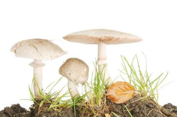 Three wild mushrooms