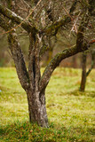 Empty apple trees in late november poster