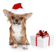 Chihuahua in christmas hat and with gift