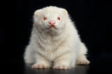 Albino ferret sits on a dark background poster