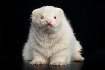 Albino ferret sits on a dark background