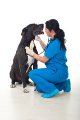 Doctor vet checkup great dane dog