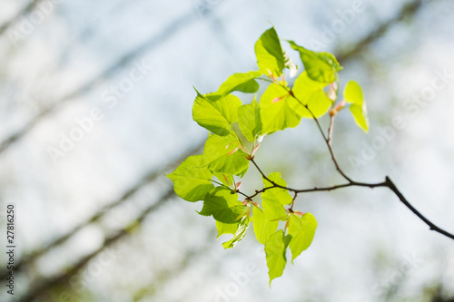 green linden leaves