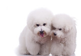 two happy bichon frise dogs poster