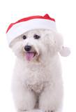 bichon frise wears santa hat poster