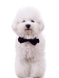 bichon frise with neck bow poster