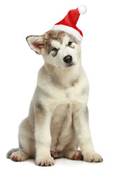 Malamute puppy in Christmas hat