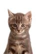 Muso di gattino tigrato