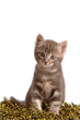 Gattino tigrato in attenzione