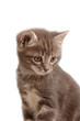 Muso di gattino blu tigre'
