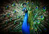 Fototapeta paw - natura - Ptak