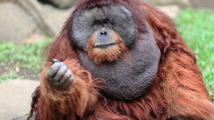 big male orangutan begging for food