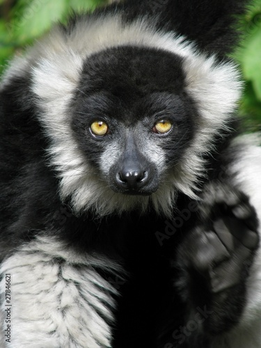 Ruffed lemur with raised paw