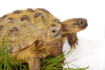 desert tortoise on the green grass isolated on white
