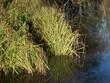 Sumpfgras - Seegras