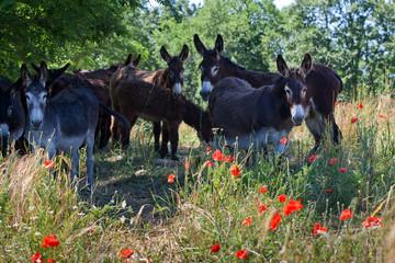 Eselherde in Italien auf vertrockneter Wiese