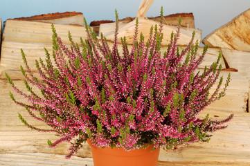calluna vulgaris vor Himmel mit Kaminholz