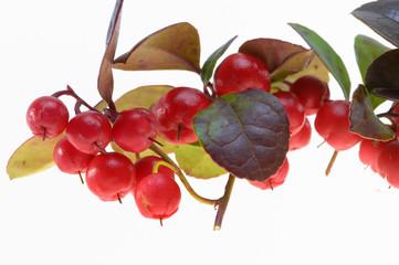 Heilpflanze Gaultheria vor weißem Hintergrund
