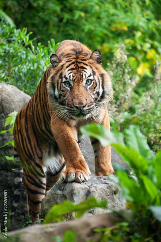 Papiers peints Tigre Sumatran tiger