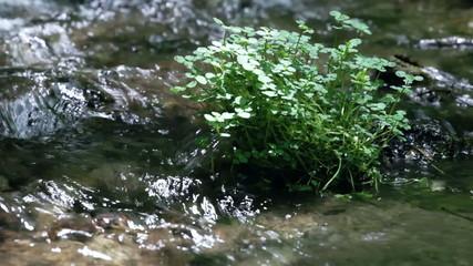 クレソンの生えた石と清流