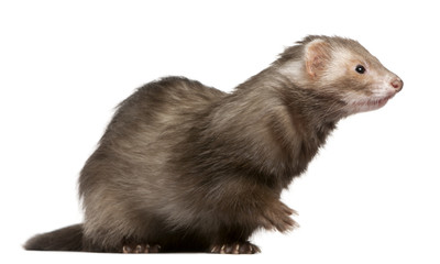 Ferret, 3 years old, sitting in front of white background