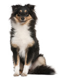 Shetland Sheepdog puppy, 6 months old, sitting poster