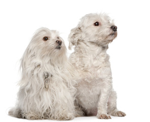 Maltese dogs, 5 and 7 years old, sitting