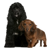 American Cocker Spaniel, 2 years old, and Dachshund puppy