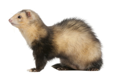 Ferret, 6 months old, in front of white background