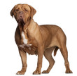 Dogue de Bordeaux, 7 years old, standing