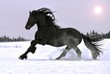 Friesian stallion gallop in winter