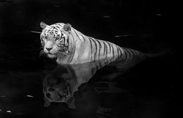 White tiger © Kjersti