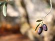 Black Olives on olive tree