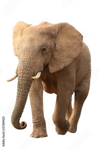 Fotobehang Leeuw African Elephant Isolated