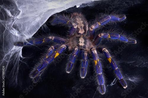 Leinwanddruck Bild Blue Tarantula near web