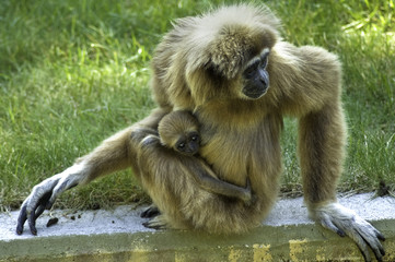 Gibbon with baby