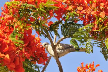 Tourterelle dans un arbre de Flamboyant en fleurs rouges