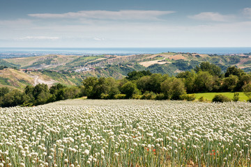 Zwiebelfeld in den Marken, Italien