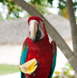 A parrot with lemon, Dominican Republic