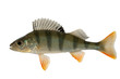Ordinary river perch