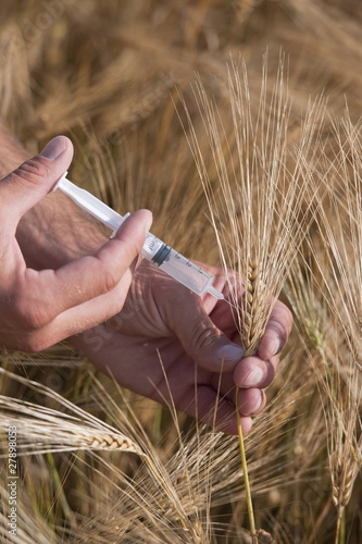 Man's hands with syringe injecting wheat