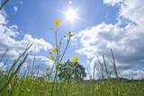 Meadow of grass and blooming summer flowers under blue sky