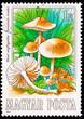 Postage Stamp Edible Mushroom, Scotch Bonnet, Marasmius Oreades