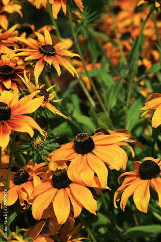Black Eye Susan Daisy