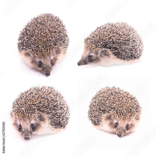 Hedgehog in different poses isolated on white